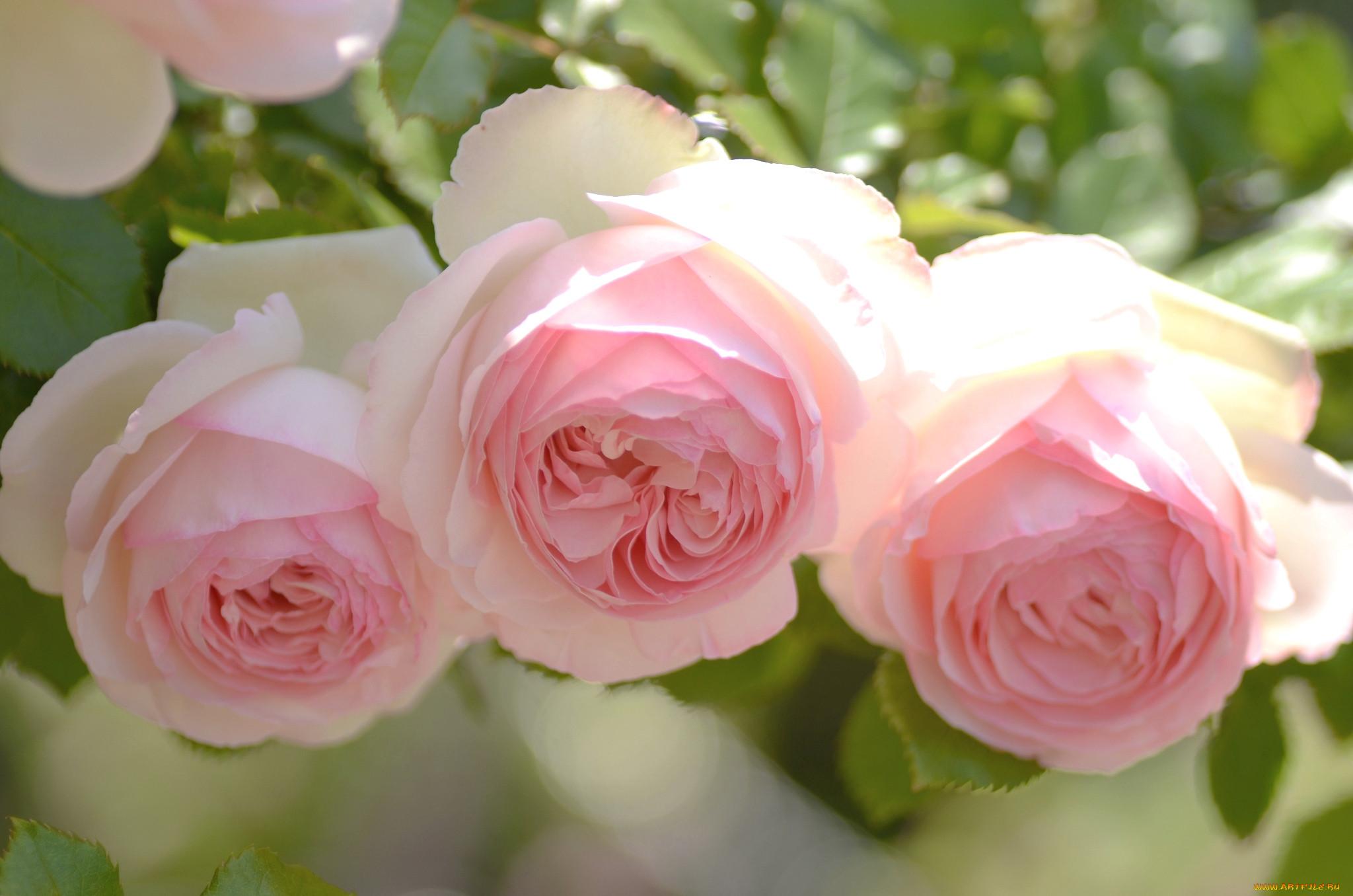 Нежность розы фото